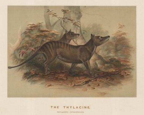 Thylacine (Tasmanian Tiger). Thylacinus cynocephalus. [NATHISp7506]